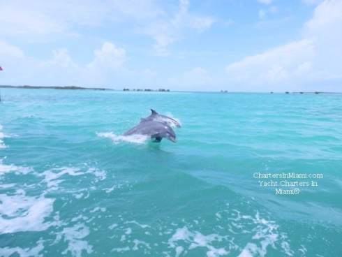 Dolphin in Miami water seen from rental boat